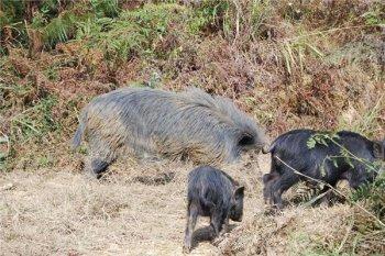 恭城藏香猪